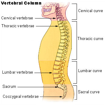 The four main  areas of your spine